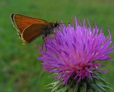mariposa y flor de cardo_1