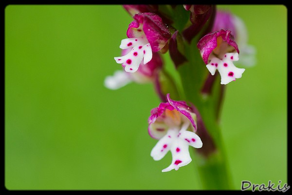 Orchis ustulata detalle